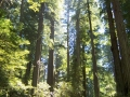 Redwoods by Dulce